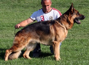 Baerental German Shepherd Breeders In MA